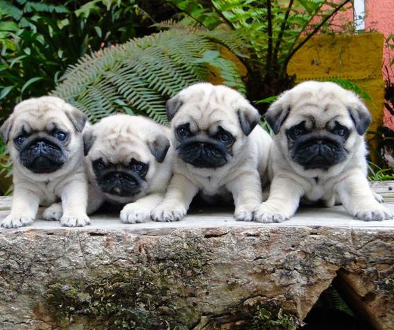 Cachorros Pug Hembras En Olivos. Bulldog En Ctas Sin Ints