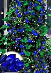 Morango Azul 30 Sementes Morango Frete Gratis + Rastreio
