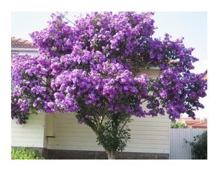 250 Sementes De Quaresmeira Tibouchina Granulosa Flor Nativa
