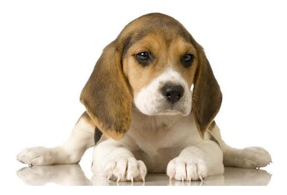 Cachorros Beagle Hembra