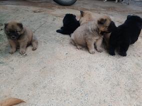 Filhotes De Chow Chow 1 Fêmea E 4 Machos