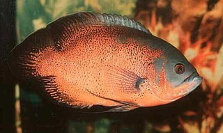 Peixe Oscar Bronze G
