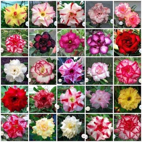 Kit 20 Sementes Rosas Do Deserto Mix Para Mudas Em Jardim