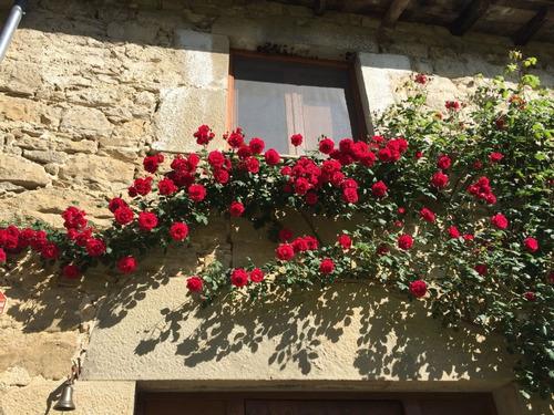 Imagen 1 de 3 de Rosal Enredadera Rojo  ( Planta )  Color Rojo //