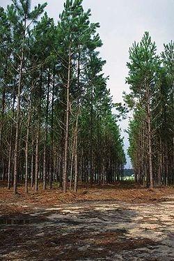 Pinus Elliotti Eliote 100 Sementes ***frete Grátis R2