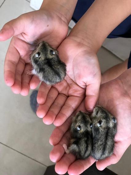 Hamster Filhotes Mansos, Criados Na Mão Anão Russo Ou Chinês