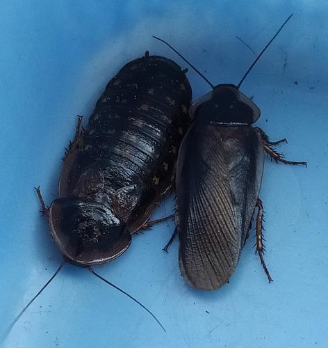 Cucarachas Blaptica Dubia Alimento Vivo Envio Gratis A Mvdeo