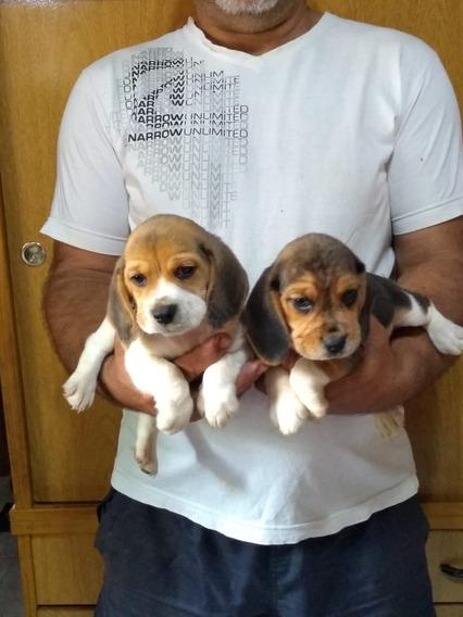 Hermosos Cachorros De Beagle !
