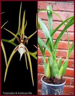 Orquídea Brassia Signata (rara En Colección)
