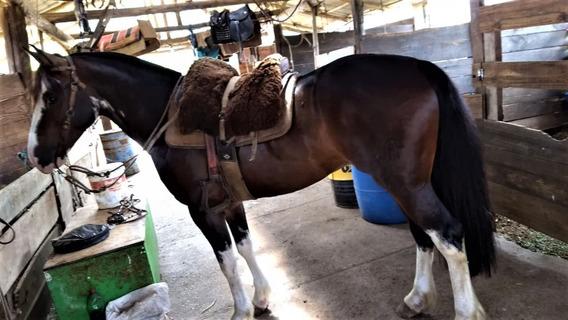 Cavalo Crioulo Manso Bom De Laço 5 Anos