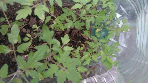 Excelentes Plantines De Tomates Americanos G 50x300