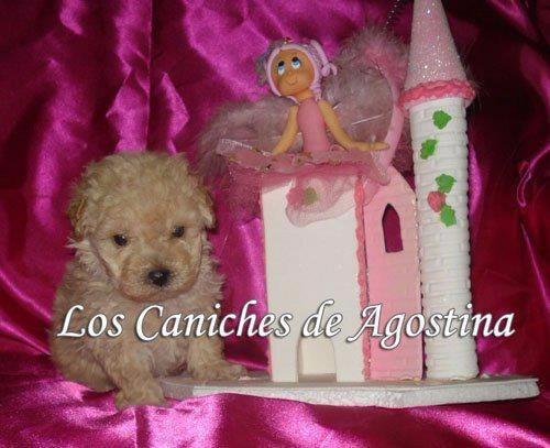 Caniches Minitoys Hembras Apricot C/kit Royal Canin De Regal