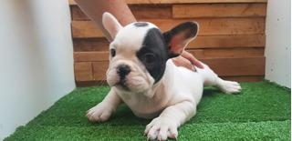 Cachorros Bulldog Francés Calidad Los Más Bonitos Bulldog