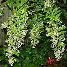 Planta De Dama De La Noche