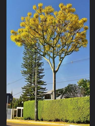 Semillas Arbol Guapuruvu Crecimiento Muy Rápido Flores