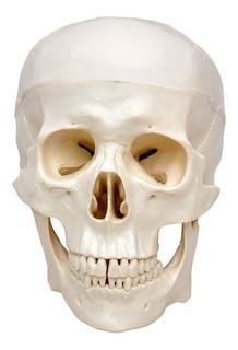 Crânio Humano Tamanho Natural Em 3 Pts, Anatomia