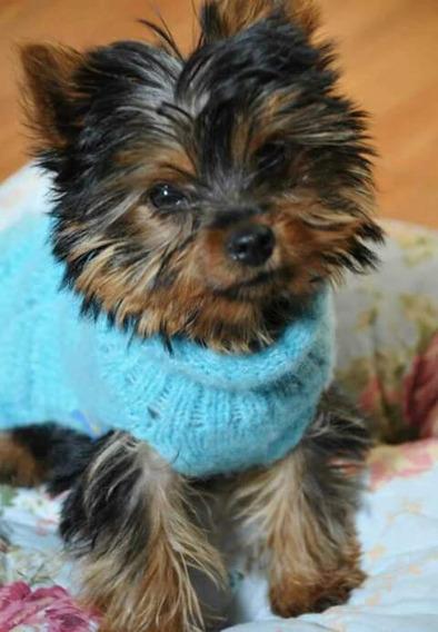 Cachorras Yorkshire Terrier Mini Hembras Con Pedigree