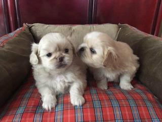 Cachorros Pequines Mini