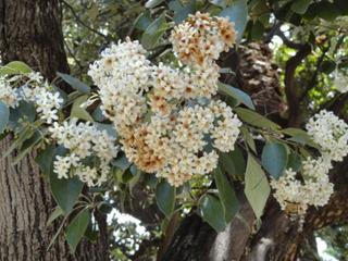 300 Sementes Louro Pardo Ou Córdia - Árvore Nativa Cerrado