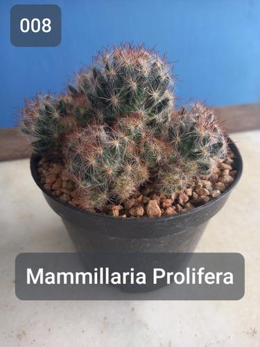 Imagem 1 de 7 de Mudas Cactos Cactus Com Vaso P.11 Mamillaria Prolifera