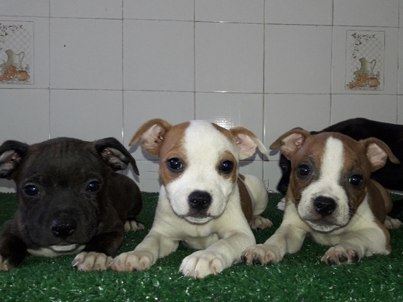 Filhotes Staffordshire Bull Terrier (staffbul) Pedigreecbkc