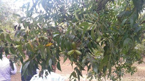 Plantación, Producción, Venta De Nogales