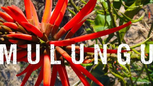 Planta Mulungu Erythrina Verna Exotica Subtropical