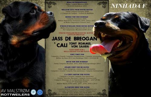 Filhotes De Rottweiler, Pai Importado Da Europa, Alto Padrão