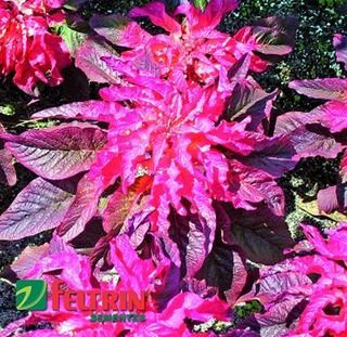 Sementes De Amaranto Bicolor Bico De Papagaio - Feltrin