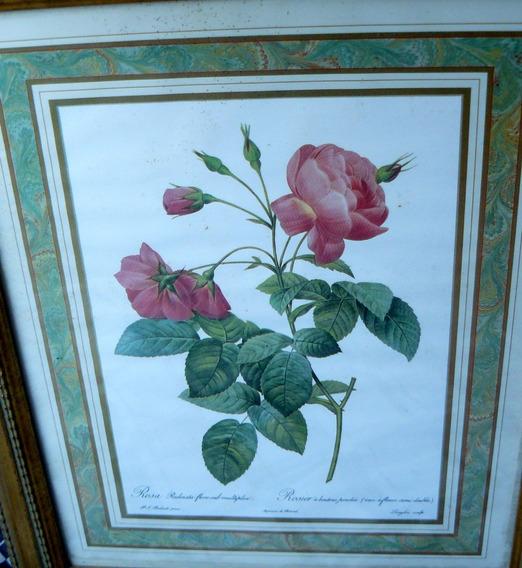 Vintage Pierre-joseph Redoute Rose Gallica 31cmx25cm