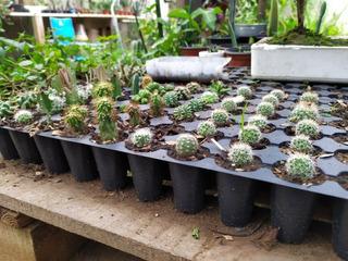 Cactus Variedad De Piezas Caja 25