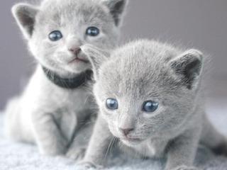 Gatito Azul Ruso Macho