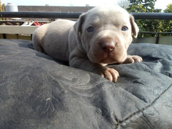 Cachorros Pitbull Silver Fawn - Perros de Raza en Mercado