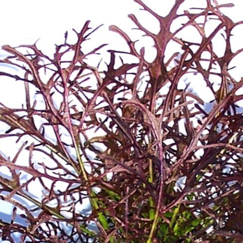 Sobre Para Sembrar 15 Plantas De Mizuna Red Mostaza Japonesa
