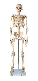 Esqueleto Humano 85 Cm Altura Articulado Modelo Anatomia