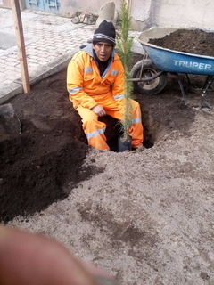 Plantones De Pino Aclimatados