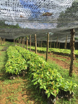 Finca De Cacao Sabana Grande De Boyá