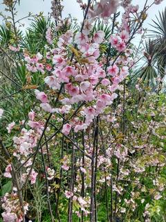 Cerezo Sakura 1,7 - 2,2 M Flor Rosa Simple - Envios