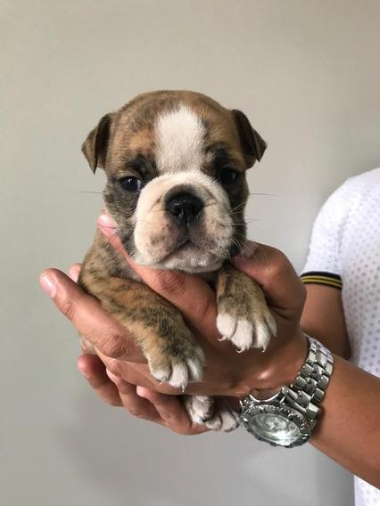 Bulldog Inglês Macho Top