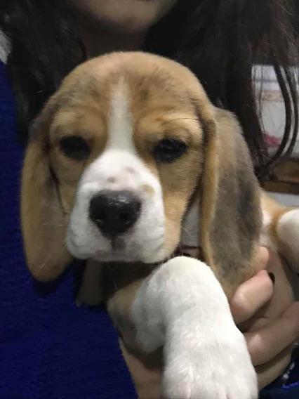 Cachorros Beagle Especial Con Fca