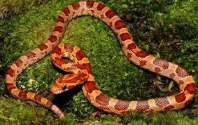 Serpiente Maiz Con Permisos