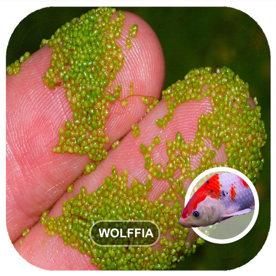 Kit 500 Wolffia Angustas 40% Proteína Dágua Aquaponia