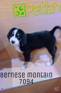 Bernese Mountain 7094 Pachuca ***solo Apartado***