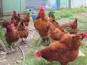 Ovos Galados Galinha Caipira Melhorado 45 Ovos