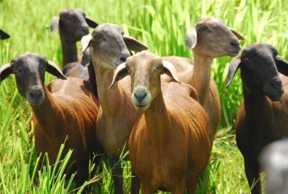 Aprenda Tudo Sobre A Criação De Caprinos Cabra