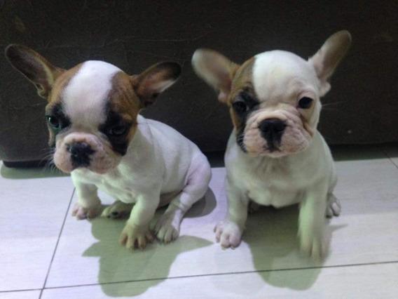 Bulldogue Francês Maravilhosos Filhotes