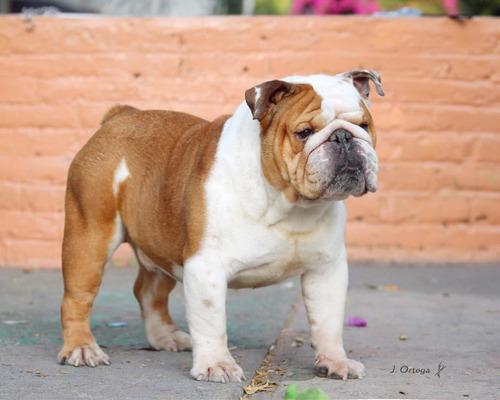 Imagen 1 de 6 de Bulldog Inglés Semental Línea Europea Edition Of Luxe And Re