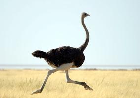 Curso Online - Aprenda A Criar Avestruz