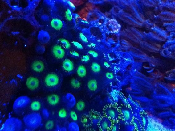 2 Peixe Palhaço + 5 Mudas De Corais Só Para Aquario Marinho