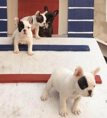 Filhote De Bulldog Frances - Fêmea